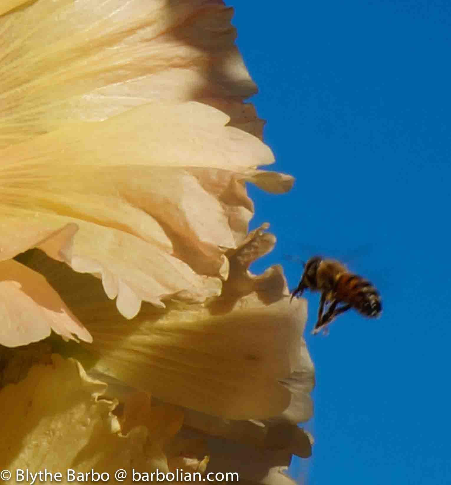 Bee approaching flower