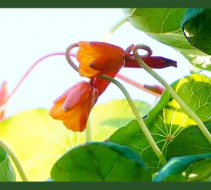 Mashua blossoms