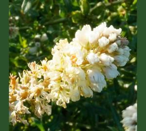 Mignonette blossom