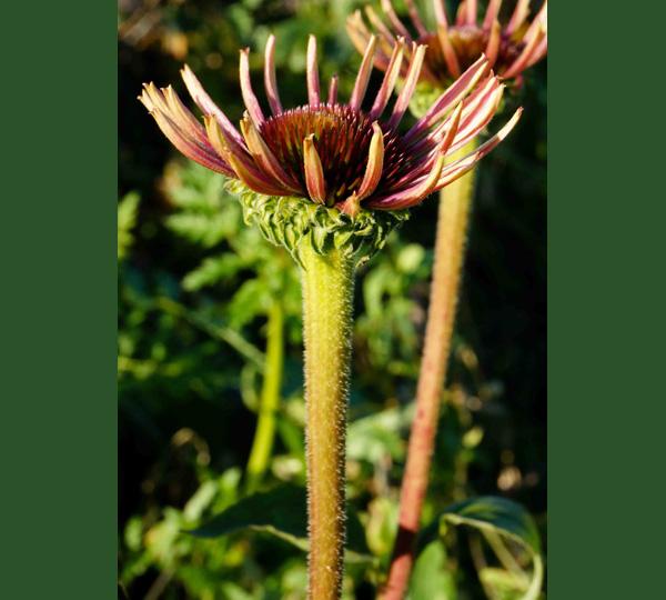 Echinacea opening up