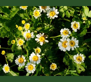 Feverfew blossoms