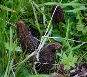 Morels in orchard. Mmmm!