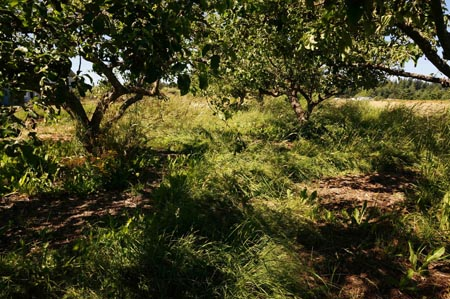 weedy orchard at Barbolian Fields
