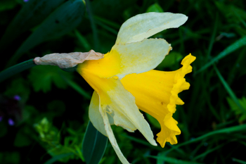 Daffodil - the trumpet of Spring!