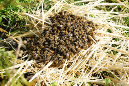 Bees on straw
