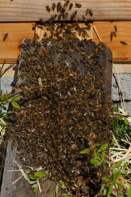 Bees enter hive