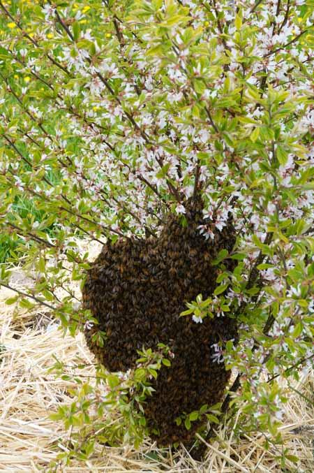 Bee swarm on Korean Cherry shrub