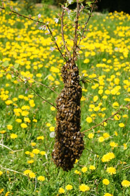 Small swarm on branch