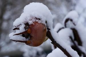 Snow-covered Medlar