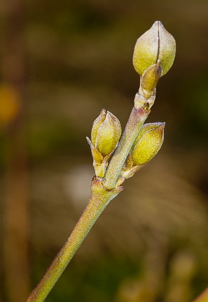 Cornelian Cherry Buds