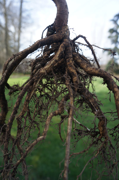 Daphne laureola roots