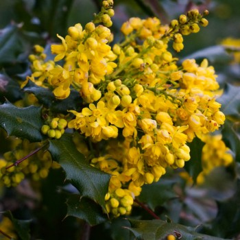 Mahonia, aka Oregon Grape.