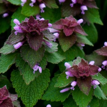 Purple Deadnettles