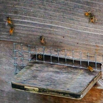 Bees on cleansing flight in January.