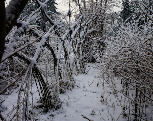 Willow Fedge with Snow