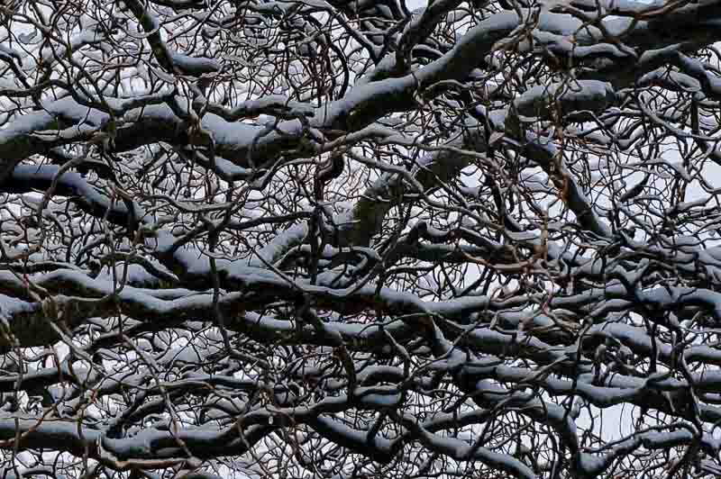 Corkscrew Willow with Snow