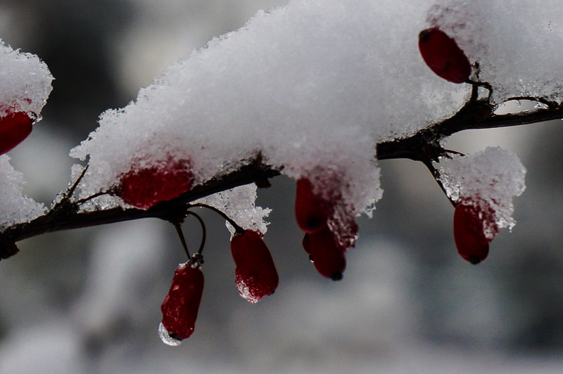 Red Berries with Snow