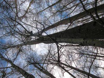 Towering Cottonwood Trees
