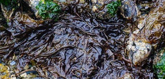 Nori (Porphyra spp.) Seaweed