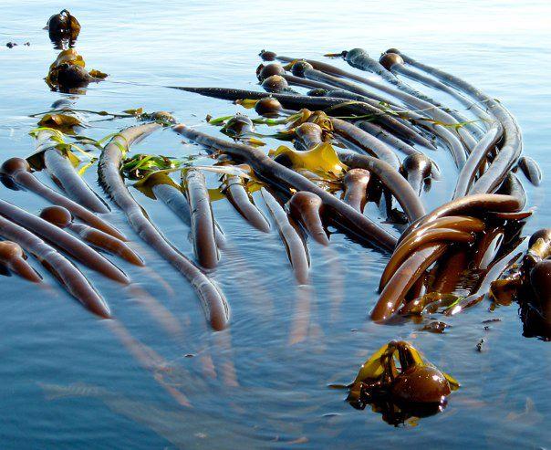 Bull Kelp (Nereocystis luetkeana) Seaweed