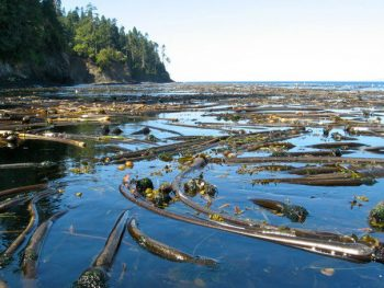 Bull Kelp at Freshwater Bay