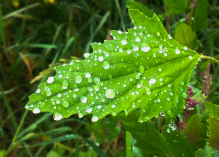 Raindrops on purple goosefoot leaf