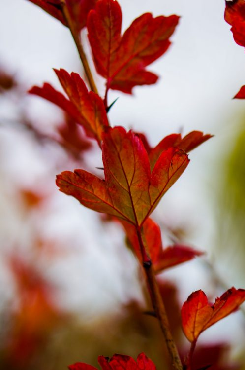 Red autumn leaves of a red currant shrub