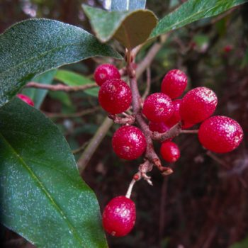 Winter Berries: the Autumn Olive, aka Autumn Berry