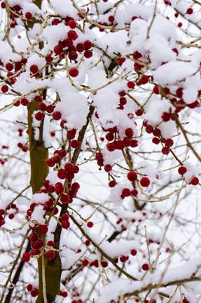 Autumn berries under snow