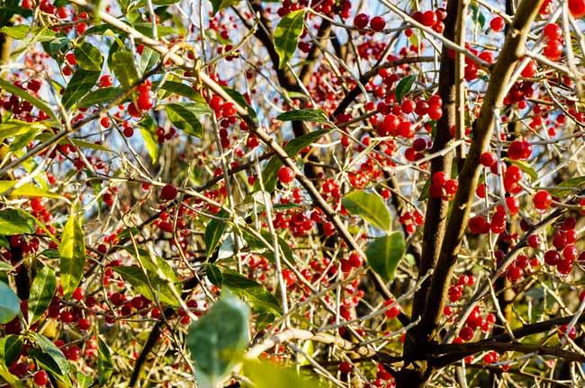 shrub full of autumn berries