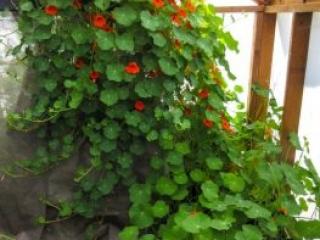 Monstrous Nasturtium taking over greenhouse