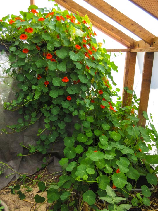 Monstrous Nasturtium taking over greenhouse