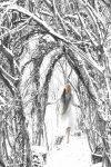Snowy path through the willows