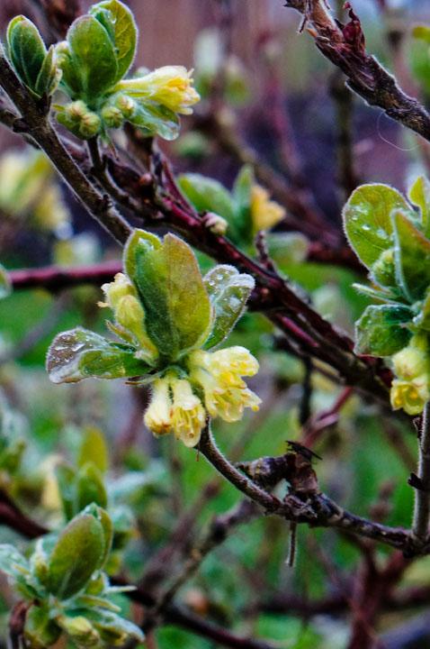 Honeyberry blossoms, Lonicera cecerulea edulis