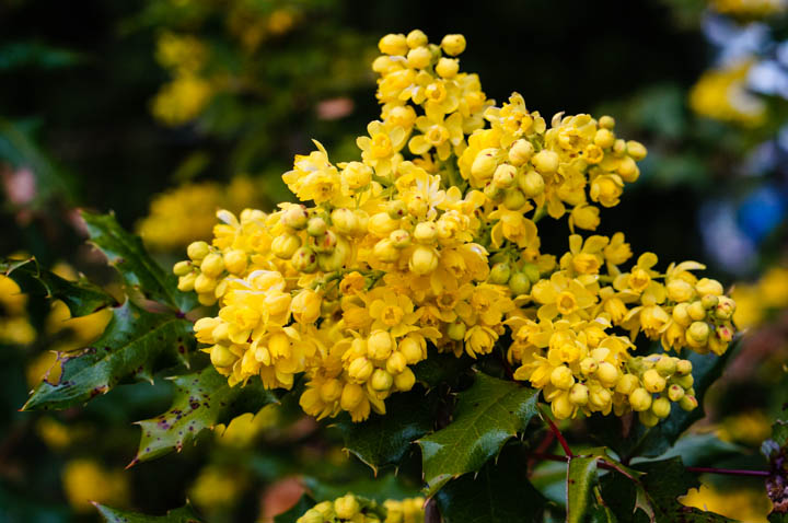 Oregon Grape, Mahonia aquifolium