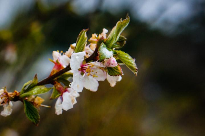 Nanking Cherry, Prunus tomentosa