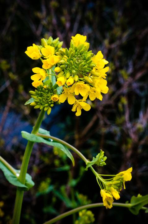 Feral mustard