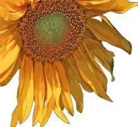 Sunflower at Barbolian Fields