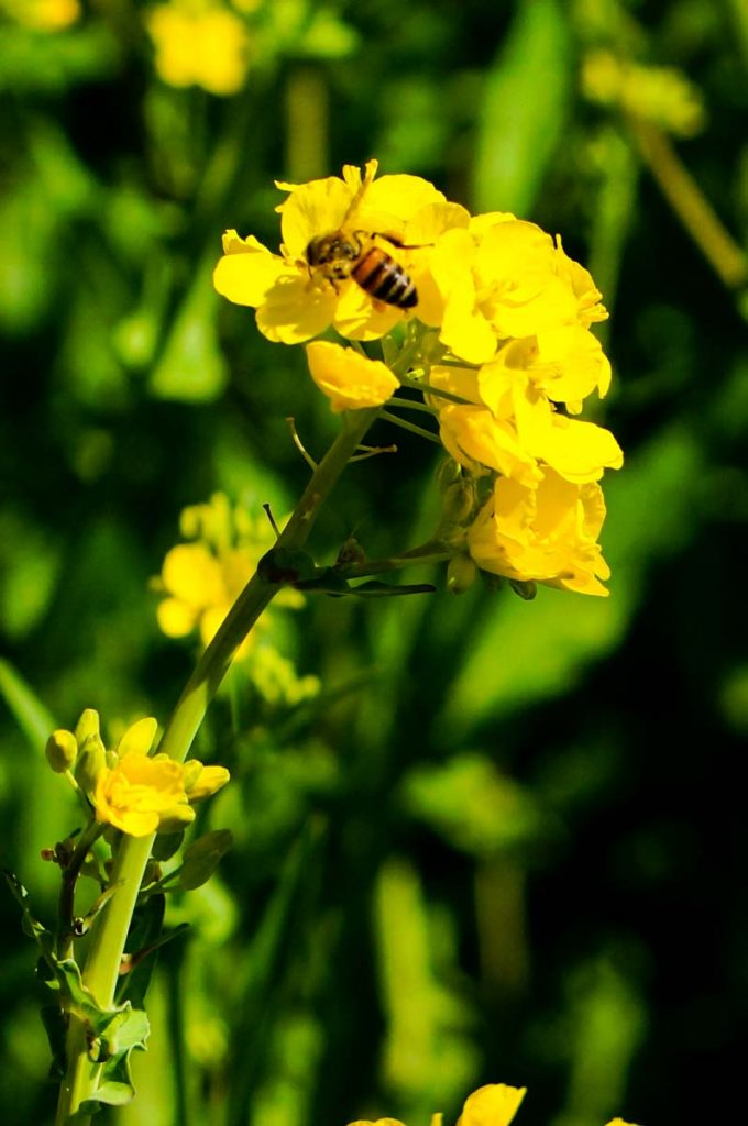 Bee on Brassica - Wild Mustard