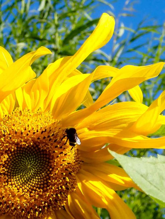 Bumblebee on Sunflower