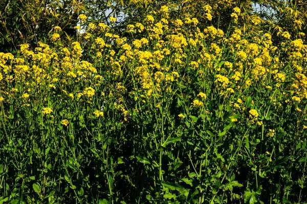 Wild Mustard Grove