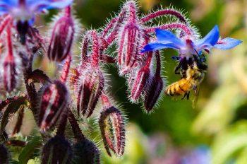 Bee on borage