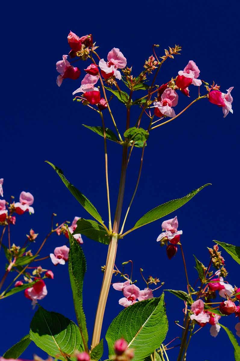 Impatiens glandulifera, aka Himalayan Balsam