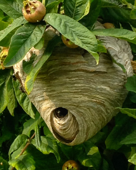 Bald-faced hornet nest.