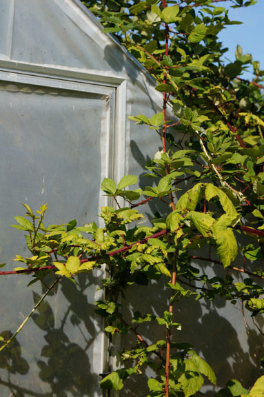 Himalayan Blackberries take over greenhouse