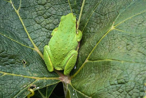 Green frog on a grape leaf