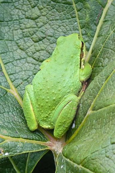 Green frog on grape leaf