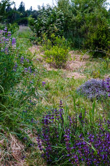 Garden path bordered by hyssop, sage, thyme, currants, and more.