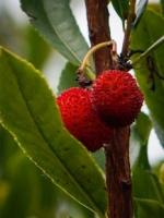 Strawberry Tree berry (Arbutus unedo)