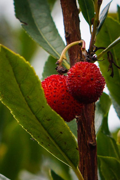 Strawberry Tree berry (Arbutus unedo)